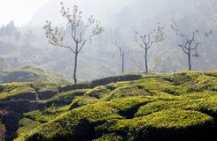 Φυτείες τσαγιού στο Κεράλα, νότια Ινδία Στοκ φωτογραφία με δικαίωμα ελεύθερης χρήσης
