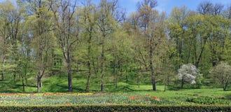 Φυτείες των ανθίζοντας τουλιπών άνοιξη σε ένα ηλιακό δάσος gl Στοκ Φωτογραφία