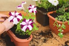 Φυτευμένα λουλούδια Bacopa Στοκ Φωτογραφία