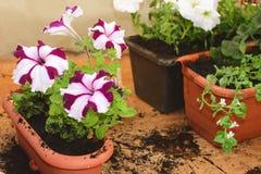 Φυτευμένα λουλούδια Bacopa Στοκ Εικόνες