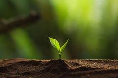 Φυτεψτε ένα δέντρο στη φύση, δέντρο καφέ, φρέσκο στοκ φωτογραφίες