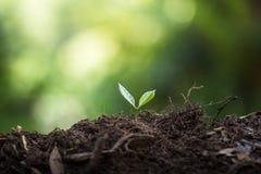 Φυτεψτε τα σπορόφυτα ενός δέντρων φυσικού υποβάθρου εγκαταστάσεων καφέ πράσινο σε φρέσκο φύσης Στοκ Φωτογραφία