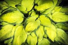 Φυτεψτε τα φύλλα του οικοδεσπότη με θάμνους Στοκ φωτογραφίες με δικαίωμα ελεύθερης χρήσης