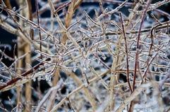 Φυτεύει με θάμνους coverd από τη βροχή παγώματος Στοκ φωτογραφίες με δικαίωμα ελεύθερης χρήσης