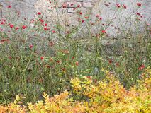 Φυτεύει τα ανθίζοντας τριαντάφυλλα και το κιτρίνισμα spirea με θάμνους Στοκ εικόνα με δικαίωμα ελεύθερης χρήσης