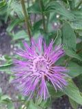 Φυτεύει cornflower τη φύση Στοκ Εικόνα