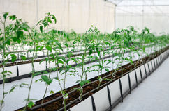 Φυτεύοντας την ντομάτα εσωτερική στοκ εικόνες