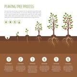 Φυτεύοντας τη διαδικασία δέντρων infographic Στάδια αύξησης δέντρων της Apple ste Στοκ Εικόνες