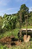 Φυτεύοντας το οργανικό αβοκάντο - Persea αμερικανικό Στοκ εικόνα με δικαίωμα ελεύθερης χρήσης