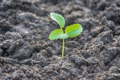 Φυτεύοντας το σπόρο κοντά επάνω δείτε - το νέο φυτό αυξάνεται στοκ εικόνα