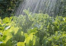Φυτικές κρεβάτι και βροχή Στοκ φωτογραφίες με δικαίωμα ελεύθερης χρήσης