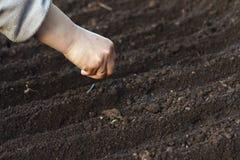 Φυτικοί σπόροι θηλυκών χοίρων Στοκ εικόνα με δικαίωμα ελεύθερης χρήσης