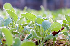 Φυτικός κήπος εγκαταστάσεων/λαχανικό στο χώμα/οργανικό φυτοφάρμακο για τα λαχανικά Στοκ εικόνα με δικαίωμα ελεύθερης χρήσης