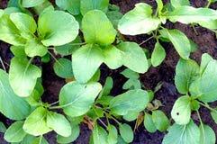Φυτικός κήπος εγκαταστάσεων/λαχανικό στο χώμα/οργανικό φυτοφάρμακο για τα λαχανικά Στοκ φωτογραφία με δικαίωμα ελεύθερης χρήσης