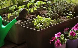 Φυτικός κήπος σε ένα πεζούλι Χορτάρια, ανάπτυξη σποροφύτων ντοματών στο εμπορευματοκιβώτιο στοκ φωτογραφία