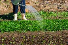 φυτικό πότισμα κήπων Στοκ Εικόνες