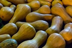 Φυτικό σχεδίων ώριμο κολοκύθας μακρύ σύμβολο θέματος φρούτων αγροτικό Στοκ Φωτογραφίες