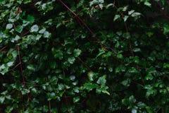 Φυτικό υπόβαθρο των πράσινων φύλλων Στοκ Φωτογραφία