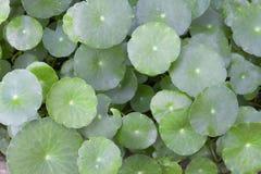 Φυτικό Centella στοκ εικόνες