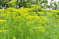 φυτό άνηθου στοκ φωτογραφία με δικαίωμα ελεύθερης χρήσης