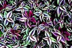 φυτό ίντσας Στοκ φωτογραφίες με δικαίωμα ελεύθερης χρήσης