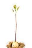 φυτό αβοκάντο Στοκ φωτογραφία με δικαίωμα ελεύθερης χρήσης