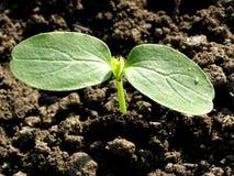 φυτό αγγουριών μικρό Στοκ εικόνες με δικαίωμα ελεύθερης χρήσης