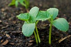 φυτό αγγουριών Στοκ Φωτογραφίες