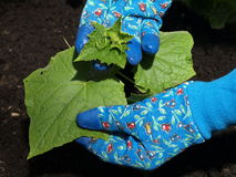 φυτό αγγουριών Στοκ Φωτογραφία