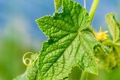 φυτό αγγουριών Στοκ εικόνες με δικαίωμα ελεύθερης χρήσης