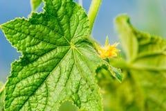 φυτό αγγουριών Στοκ φωτογραφίες με δικαίωμα ελεύθερης χρήσης
