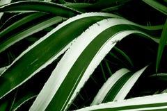 φυτό αιώνα Στοκ Εικόνα