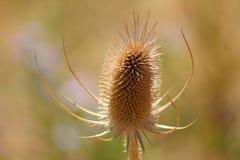 φυτό ακιδωτό Στοκ Φωτογραφία