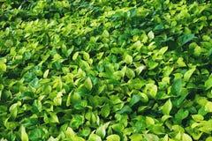 Φυτό αμπέλων aureum Epipremnum, πράσινο υπόβαθρο σύστασης φύλλων Στοκ Εικόνα