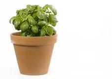 φυτό βασιλικού Στοκ φωτογραφία με δικαίωμα ελεύθερης χρήσης
