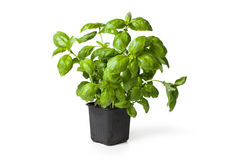 Φυτό βασιλικού στοκ εικόνα με δικαίωμα ελεύθερης χρήσης
