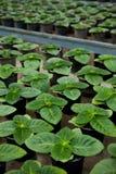 φυτό βρεφικών σταθμών Στοκ Εικόνα