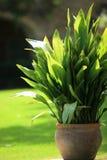 Φυτό γλαστρών σε έναν κήπο Στοκ Εικόνες