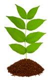 φυτό εδάφους στοκ εικόνες με δικαίωμα ελεύθερης χρήσης