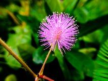 φυτό ευαίσθητο Στοκ εικόνες με δικαίωμα ελεύθερης χρήσης