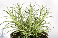 φυτό κάρρυ Στοκ Φωτογραφίες