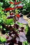 φυτό κήπων Στοκ Εικόνα