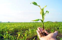 φυτό καλαμποκιού στοκ εικόνες