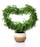φυτό καρδιών που διαμορφών Στοκ Φωτογραφίες