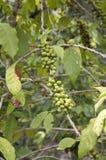 φυτό καφέ Στοκ Εικόνες