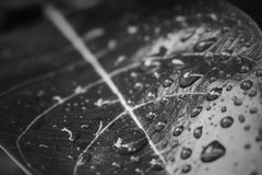 Φυτό κινηματογραφήσεων σε πρώτο πλάνο πτώσης νερού φύλλων γραπτό Στοκ Εικόνες