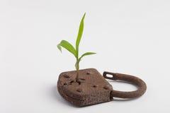 φυτό κλειδωμάτων Στοκ φωτογραφίες με δικαίωμα ελεύθερης χρήσης