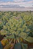 φυτό λάχανων Στοκ Φωτογραφίες