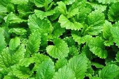 φυτό λεμονιών χορταριών βάλ Στοκ φωτογραφία με δικαίωμα ελεύθερης χρήσης