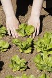 φυτό μαρουλιού Στοκ Φωτογραφίες